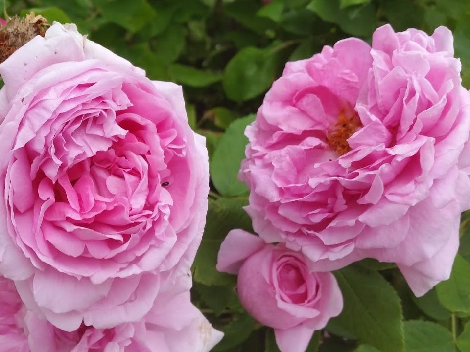 róże wielokwiatowe przyciągają zapachem